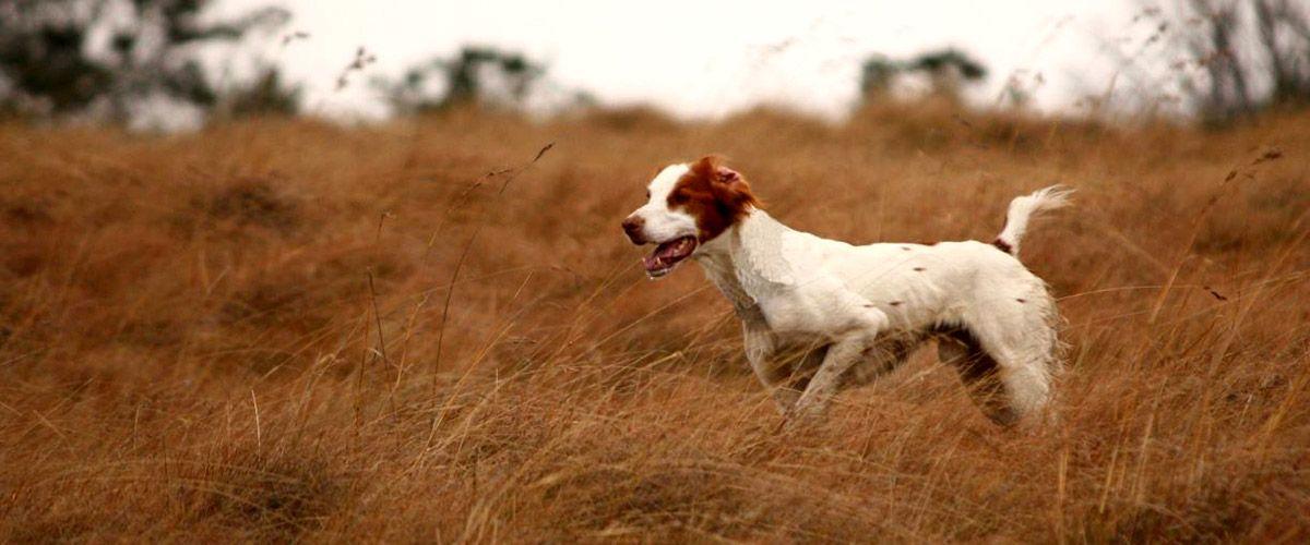 Brittany, bird hunting dog, pointing